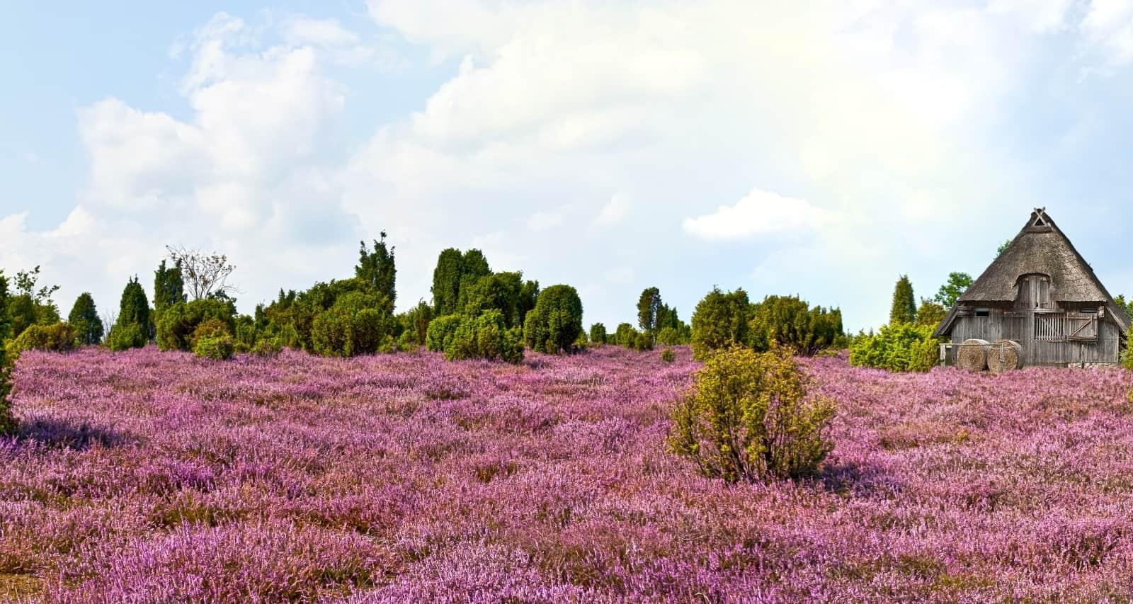 Blühende Heidelandschaft mit Schafstall