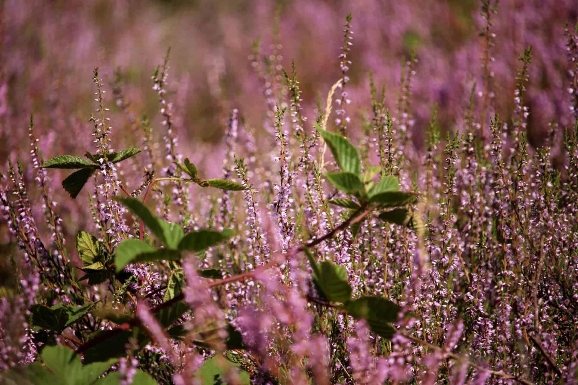 Blühende Heide (Calluna vulgaris)