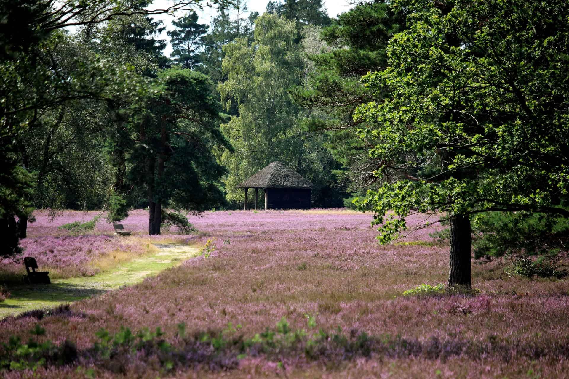 Die Heide blüht!
