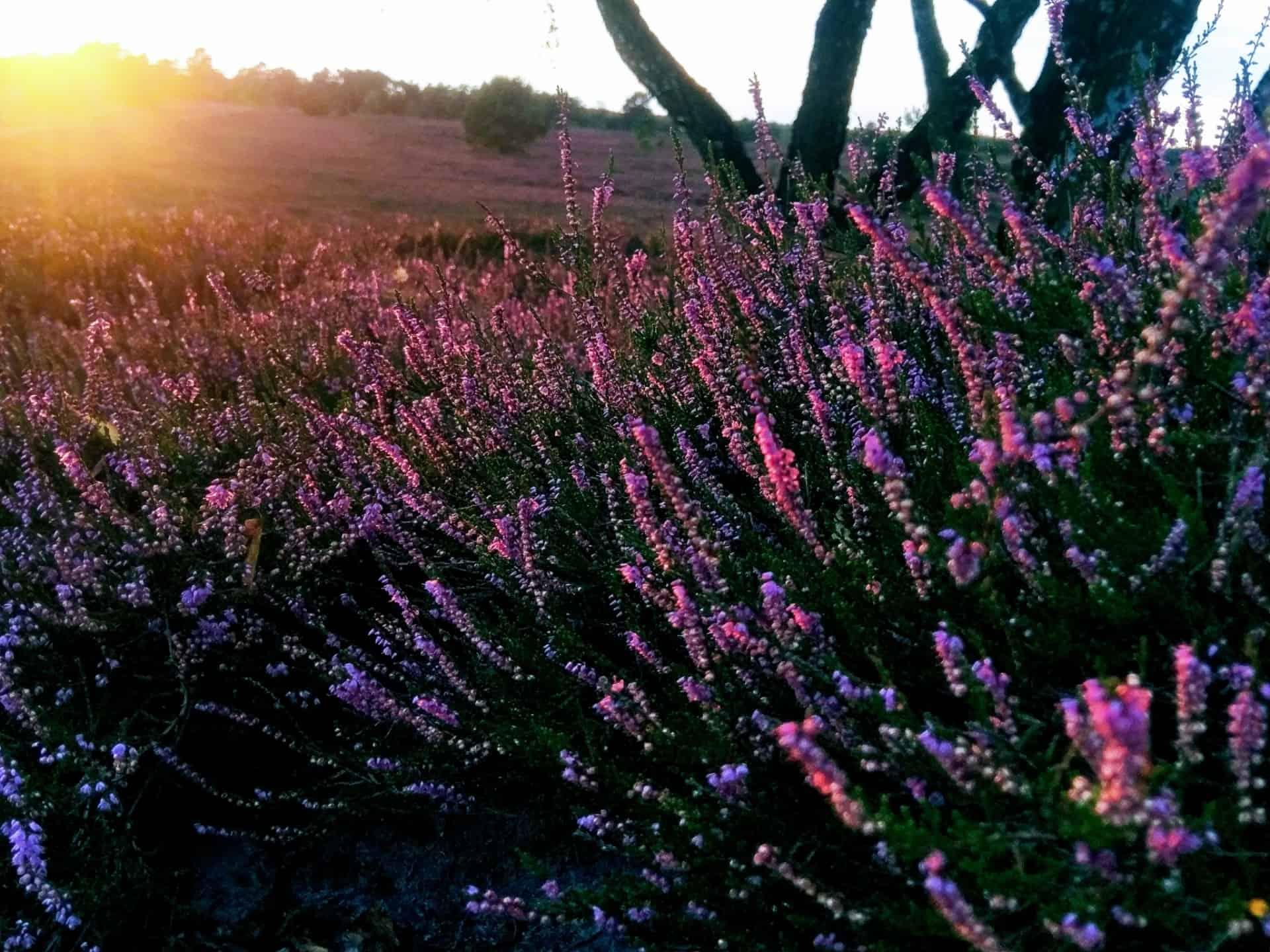 Blühende Heide (Calluna vulgaris) im Abendsonnenschein